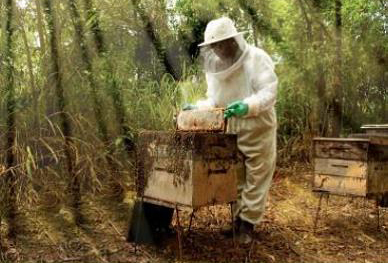 A beekeeper keeping bees on land owned by CENIBRA